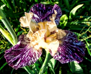 purple_n_white_iris_