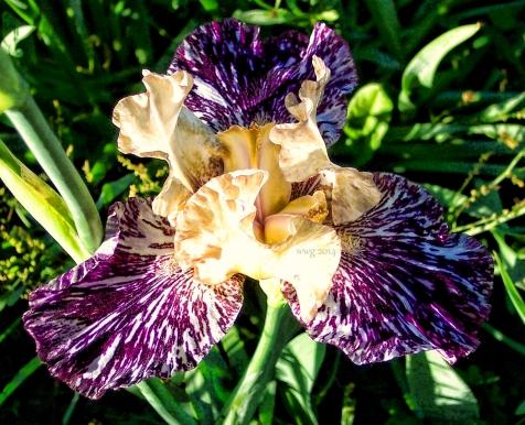 purple_n_white_iris_