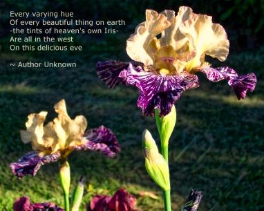 purple_n_white_iris_ooh_aah
