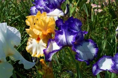 yellow_and_blue_iris_