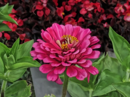 big-pink-zinnia