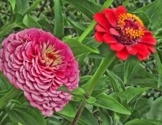 bigpink-zinnia-and-red-zinnia-2013