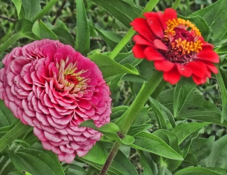 bigpink-zinnia-and-red-zinnia-2013