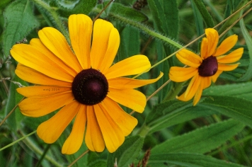 blackeyed-susan-2014