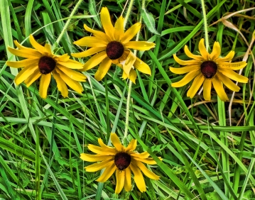 blackeyed-susans-2014