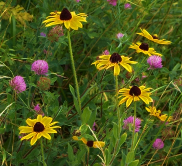blackeyed-susans-and-cloverblossoms-2014