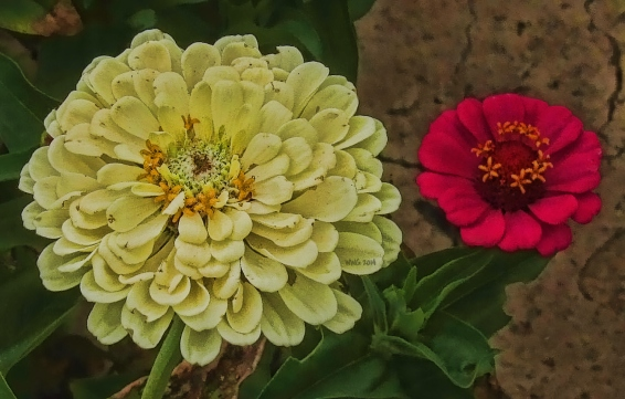 creme-white-zinnia-and-a-red-bloom2013