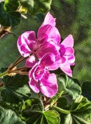 geranium-greeting-sunrise