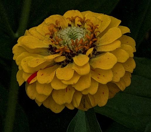 golden-striped-zinnia-in-shadows