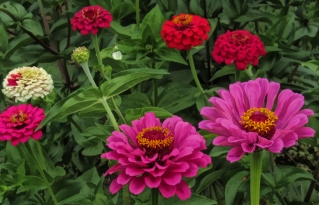 more-pink-and-red-zinnias-2013