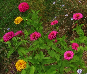 multi-color-zinnias
