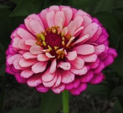 neon-pink-zinnia2013