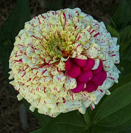one-peppermint-zinnia-2013