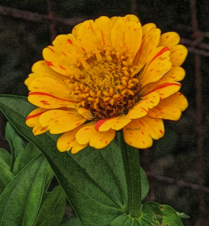 peppermint-gold-mutation-zinnia2013