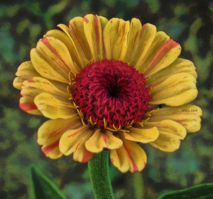 peppermt-zinnia-mutated-to-pink-and-gold