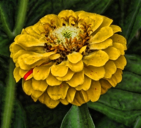 peppmt-golden-zinnia2013