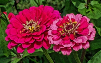 pink-and-red-dualcolor-zinnias