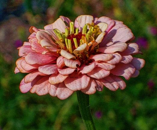 pink-gold-edged-zinnia