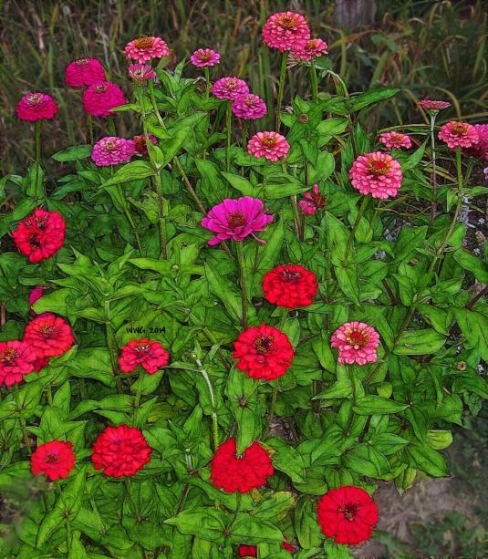 pink-n-red-zinnias2013