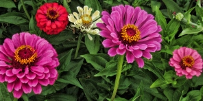 pink-red-and-white-zinnias-2013