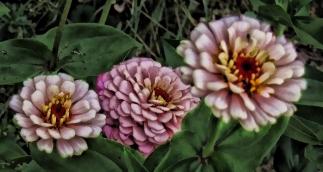 pink-zinnias-various-tones