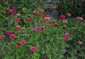 pink-zinnias-various