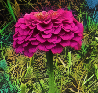 pink-zinnias3