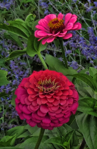 red-and-pink-zinnias-2013