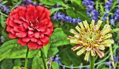 red-zinnia-and-peppermint-zinn2013