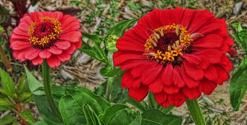 salmon-pink-and-red-zinnia2013