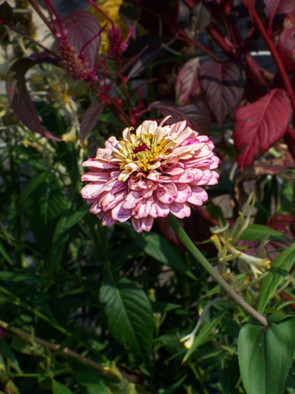 single-peppermt-zinnia-against-fall-background