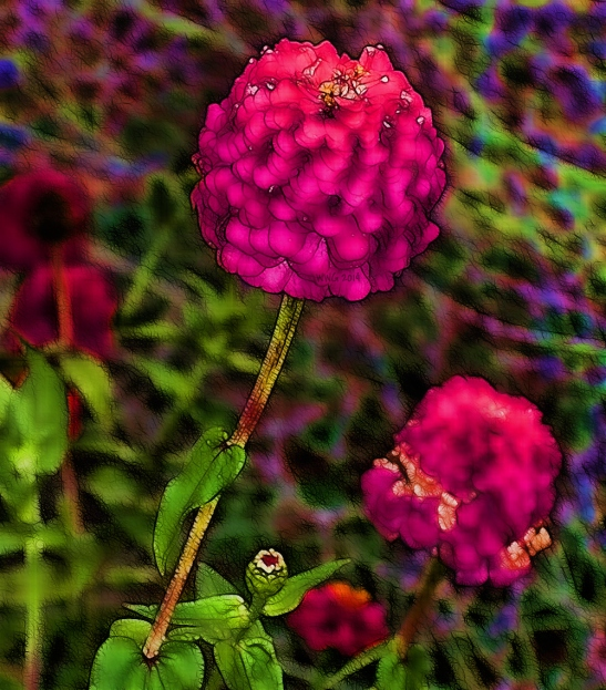 tall-fall-zinnias