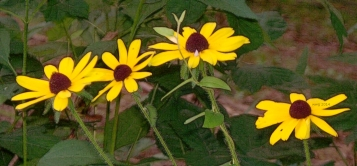 wild-sunflowers-in-july2014