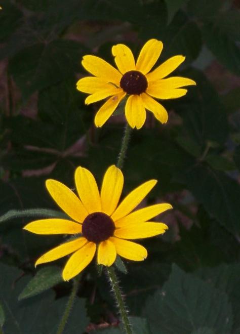 wild-sunflowers