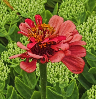 zinnia-almost-finished-going-to-seed--still-interesting