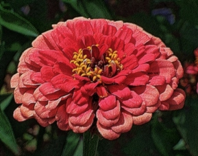 zinnia-twotoned-pink