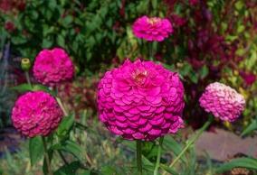 zinnias-big-pink-2013