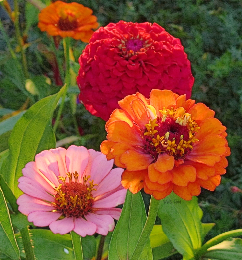 zinnias-in-eve-light