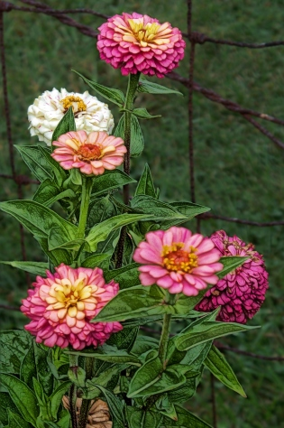 zinnias-multicolor