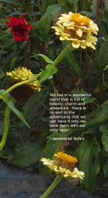 zinnias-pale-gold-w-quotation