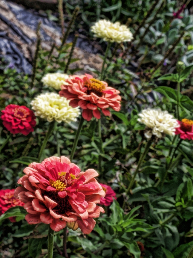 zinnias-salmonpink-and-white
