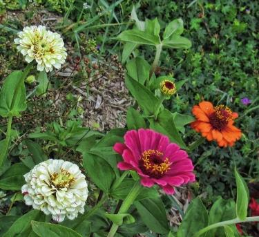 zinnias-various