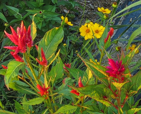 coreopsis-and-celosia