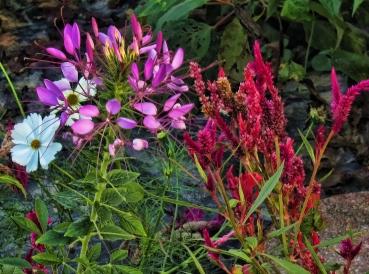 cosmos-spider-flower-celosia