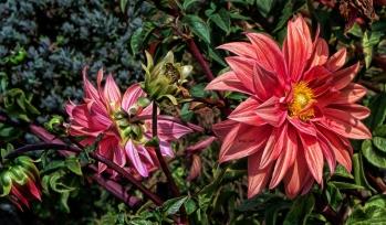 dahlia-blooms-2013