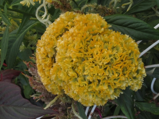 golden-coxcomb2013