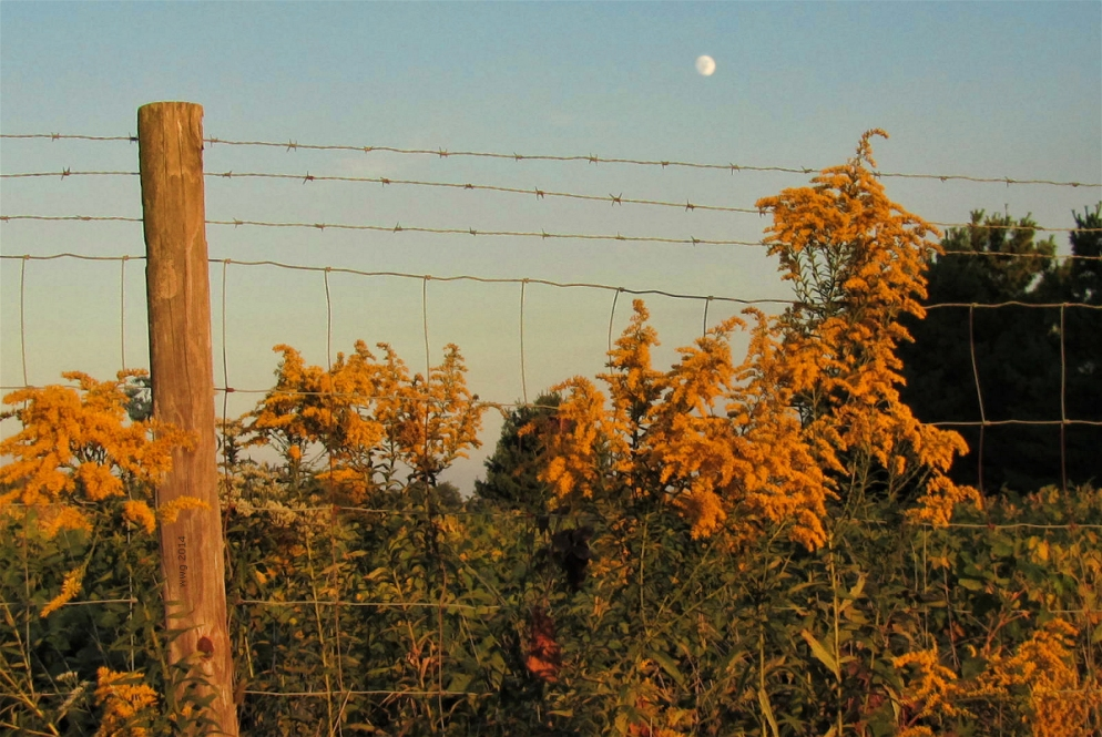 goldenrod-with-moon-in-eastern-sky