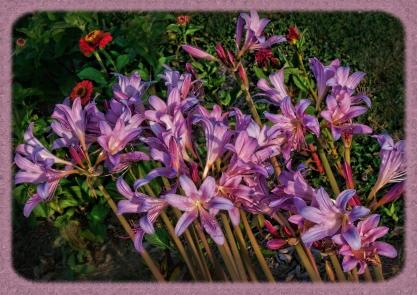 hurricane-lilies-w-border