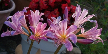 hurricane-lilies1