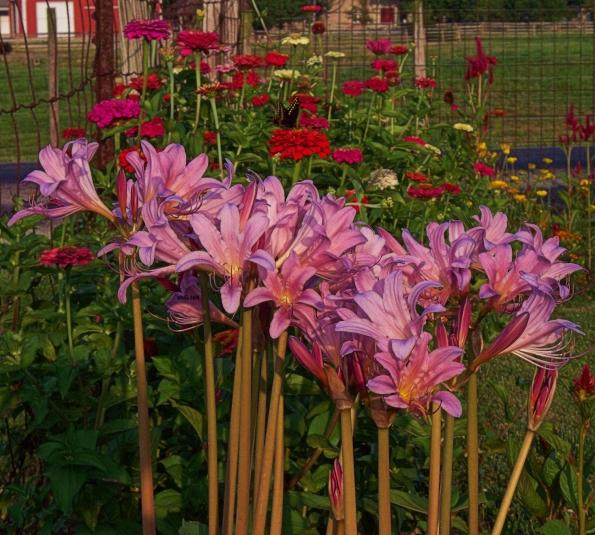 hurricane-lilies5